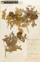 Abarema jupunba (Willd.) Britton & Killip var. jupunba, Brazil, Capucho 593, F