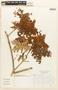 Abarema jupunba (Willd.) Britton & Killip, Colombia, L. V. de Millán 48, F