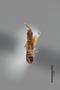 3048419 Planeustomus splendidicollis ST d IN