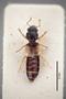 3048424 Bledius albomaculatus HT d IN