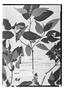 Field Museum photo negatives collection; Genève specimen of Salvia eriocalyx Bertero, JAMAICA, Wiles, Type [status unknown], G