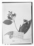 Field Museum photo negatives collection; Genève specimen of Endlicheria sericea Nees, Trinidad and Tobago, F. W. Sieber 175, Type [status unknown], G