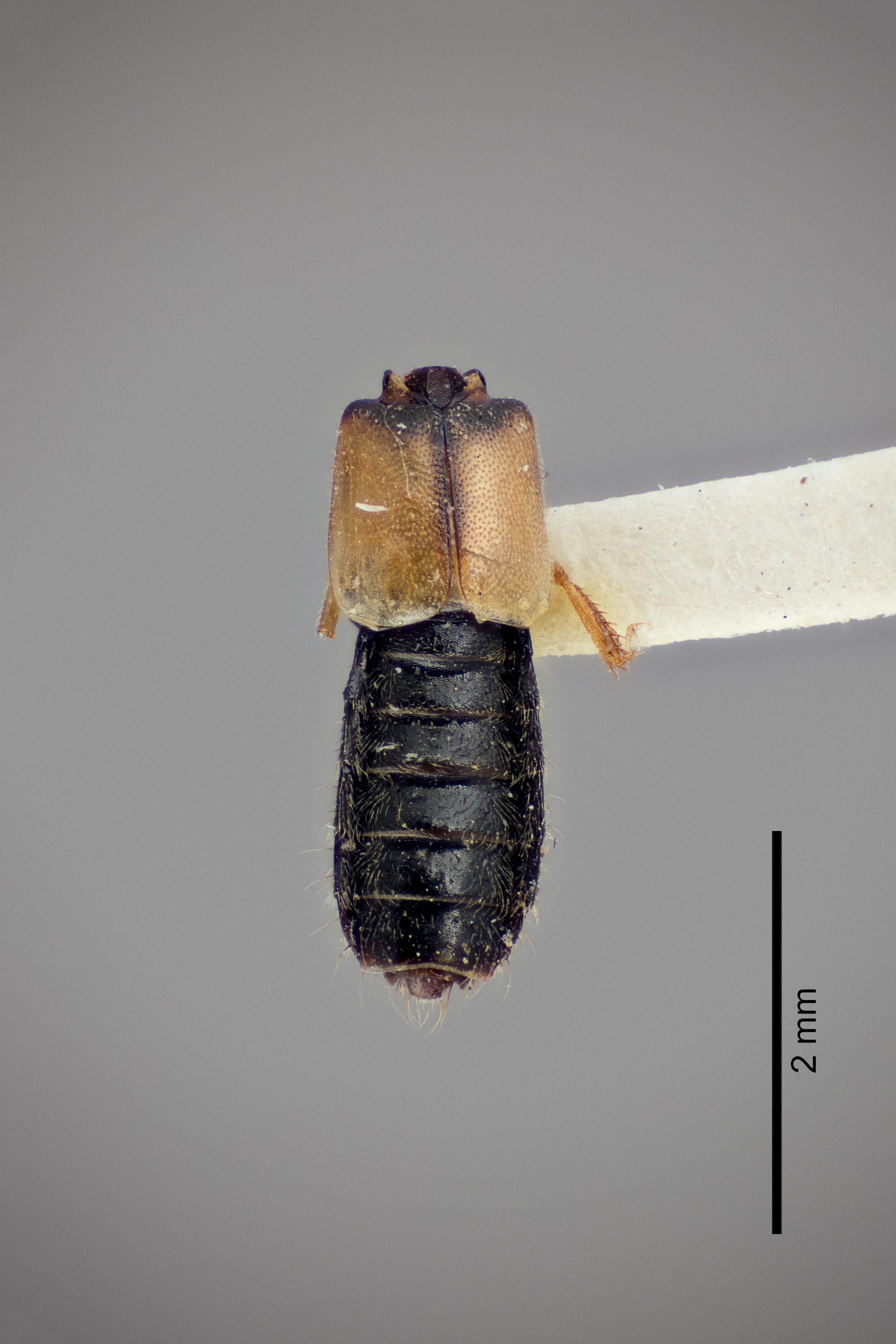 Image of Bledius albonotatus