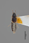 3048426 Bledius albomarginatus ST d IN