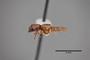3048428 Bledius auriculicollis ST p IN