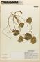 Nymphoides indica (L.) Kuntze, Mexico, C. Chan V. 6891, F