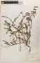Lythrum acinifolium image