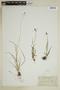 Carex norvegica image