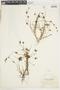 Juncus oreganus image