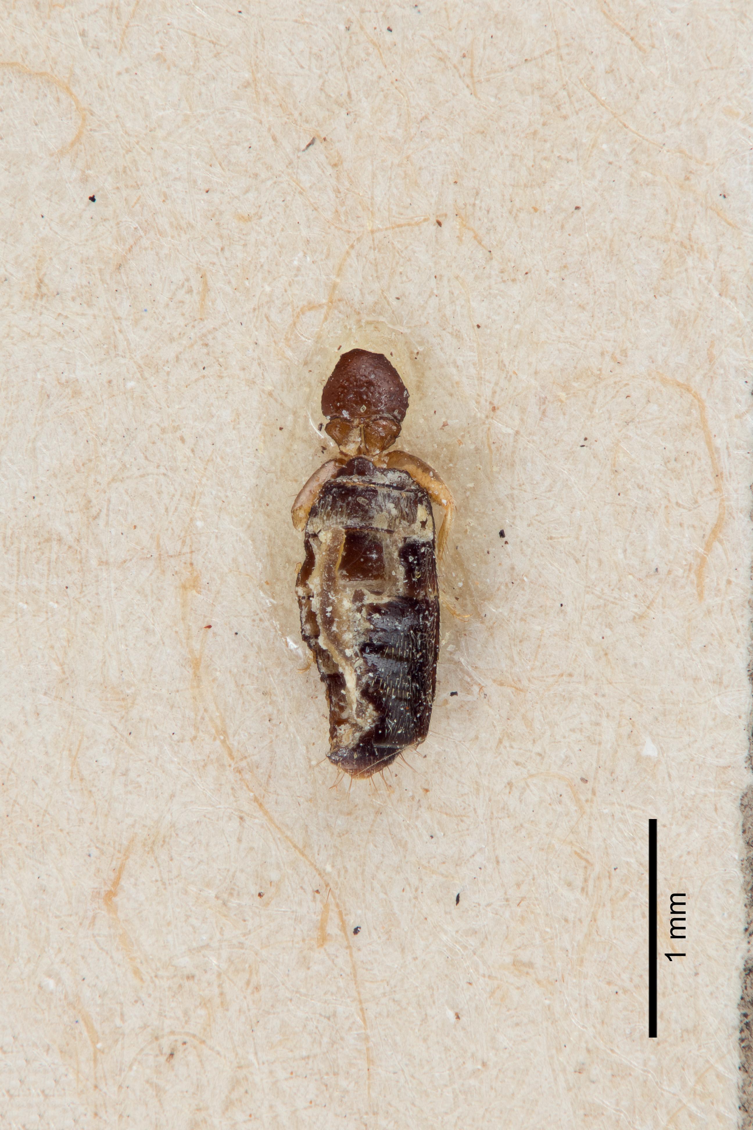Image of Bledius bonariensis
