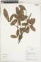 Myrcia guianensis (Aubl.) DC., Bolivia, N. Paniagua Z. 608, F