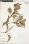 Roupala montana Aubl. var. montana, Peru, A. H. Gentry 37676, F