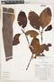 Calycophyllum spruceanum (Benth.) K. Schum., Ecuador, D. Irvine DI212, F