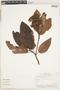 Calycophyllum spruceanum (Benth.) K. Schum., Peru, 211, F
