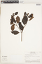 Calycophyllum spruceanum (Benth.) K. Schum., Peru, 157, F