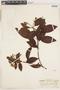 Calycophyllum spruceanum (Benth.) K. Schum., Peru, G. Klug 2814, F
