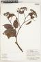 Calycophyllum spruceanum (Benth.) K. Schum., Bolivia, A. Cruz 41, F