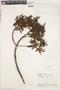 Cinchona pubescens Vahl, Ecuador, J. A. Steyermark 53645, F