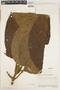 Cinchona pubescens Vahl, Ecuador, J. A. Steyermark 54855, F