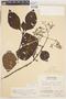 Cinchona pubescens Vahl, Peru, W. Hodge 6260, F