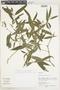 Faramea quinqueflora Poepp., Peru, S. T. McDaniel 31204, F