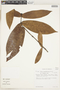 Ixora acuminatissima Müll. Arg., Venezuela, T. C. Plowman 13484, F