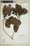 Kutchubaea semisericea Ducke, Ecuador, A. H. Gentry 80892, F