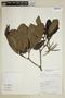 Kutchubaea semisericea Ducke, Peru, R. Kayap 1125, F