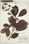 Macrocnemum humboldtianum (Schult.) Wedd., Ecuador, J. A. Steyermark 54092, F