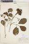 Macrocnemum humboldtianum (Schult.) Wedd., Ecuador, W. H. Camp 14, F