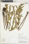 Salvia nervosa Benth., PARAGUAY