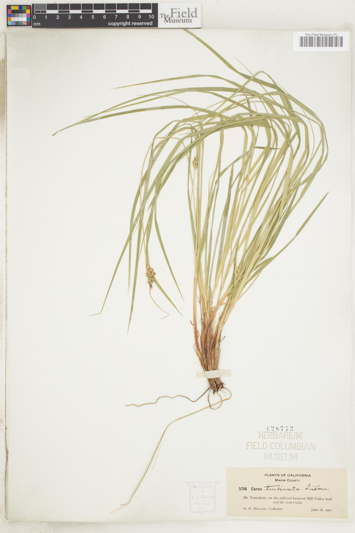 Carex turbinata image