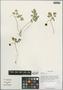Adoxa xizangensis G. Yao, China, D. E. Boufford 33080, F