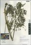 Anthriscus sylvestris (L.) Hoffm., China, D. E. Boufford 32703, F