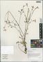 Carum carvi L., China, D. E. Boufford 29958, F