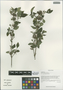 Barleria cristata L., China, D. E. Boufford 35053, F