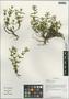 Justicia xylopoda W. W. Sm., China, D. E. Boufford 35064, F