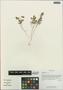 Adoxa xizangensis G. Yao, China, D. E. Boufford 34609, F