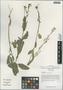 Rorippa palustris (L.) Besser, China, D. E. Boufford 39061, F