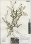 Rorippa palustris (L.) Besser, China, D. E. Boufford 40027, F