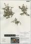Rorippa palustris (L.) Besser, China, D. E. Boufford 39331, F