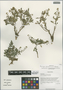 Rorippa palustris (L.) Besser, China, D. E. Boufford 40146, F