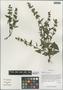 Salvia roborowskii Maxim., China, D. E. Boufford 40428, F