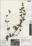 Salvia roborowskii Maxim., China, D. E. Boufford 39263, F