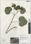 Caltha palustris L. var. palustris, China, D. E. Boufford 39067, F