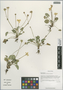 Caltha scaposa Hook. f. & Thompson, China, D. E. Boufford 35911, F