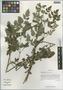 Cimicifuga foetida L. var. foetida, China, D. E. Boufford 34621, F
