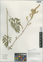 Cimicifuga foetida L. var. foetida, China, D. E. Boufford 36543, F