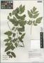 Cimicifuga foetida L. var. foetida, China, D. E. Boufford 39701, F