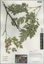 Cimicifuga foetida L. var. foetida, China, D. E. Boufford 37133, F